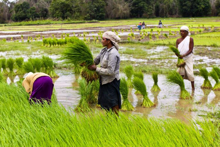 indian-rice-farm-2